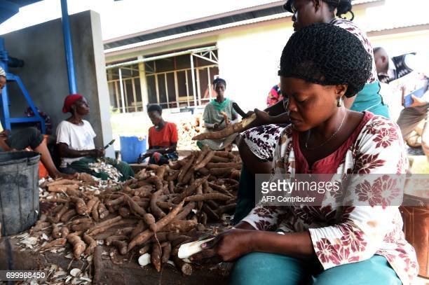 Women try to peel outer layers of cassava for processing at the International Institute of Tropical Agriculture in Ibadan southwest Nigeria on June...