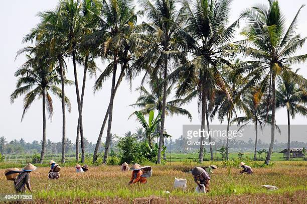CONTENT] Women wearing traditional Asianstyle conical hats harvesting rice with scythes in a field with tall palm trees in Central Java