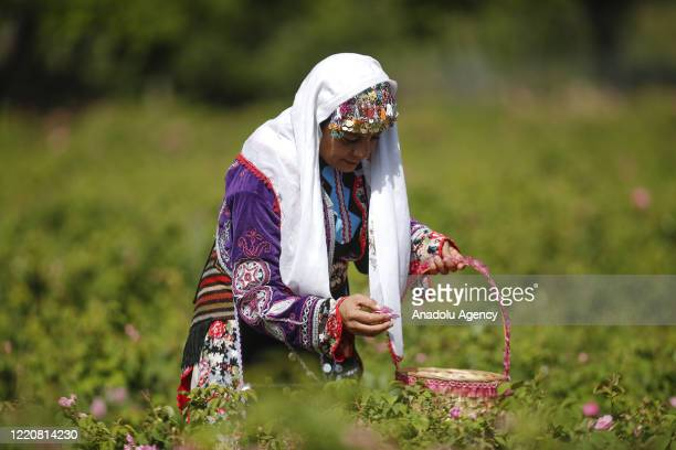 Women, with traditional clothes, collect rose petals at a rose field during rose harvesting season in Isparta, Turkey on June 17, 2020. The collected...