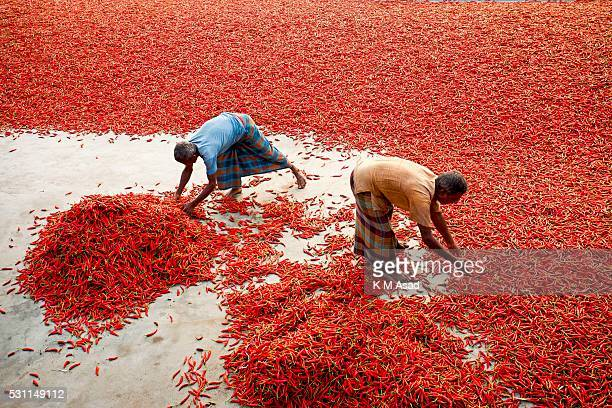 Women work in a red chilli pepper drying factory under the sun near Jamuna River in Bogra Bangladesh on March 03 2016 Many women come from various...