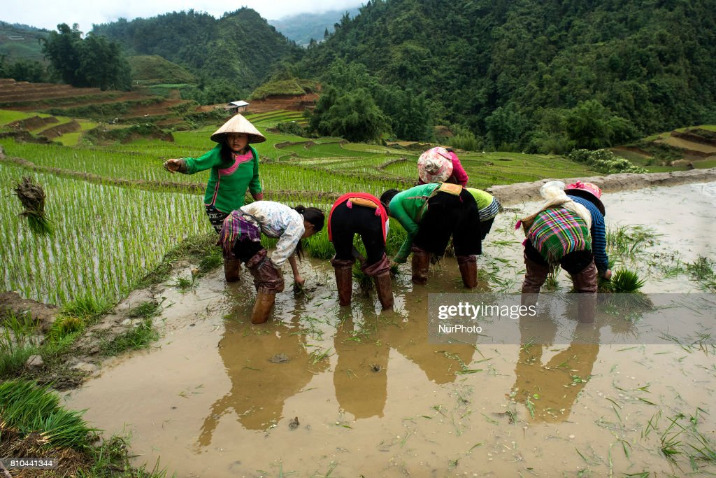 Women work in rice fields in the Sa Pa area of northern Vietnam