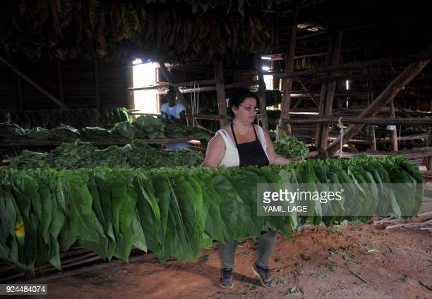 Women work in the drying barn of a tobacco plantation in San Juan y Martinez Pinar del Rio Province Cuba on February 24 2018 Cuba will hold the 20th...