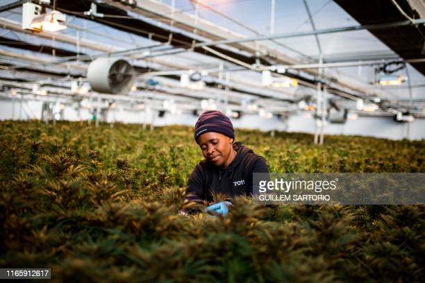 A women worker picks up leaves from cannabis plants inside a greenhouse of Medigrow a LesothoCanadian company that grows legal cannabis located near...