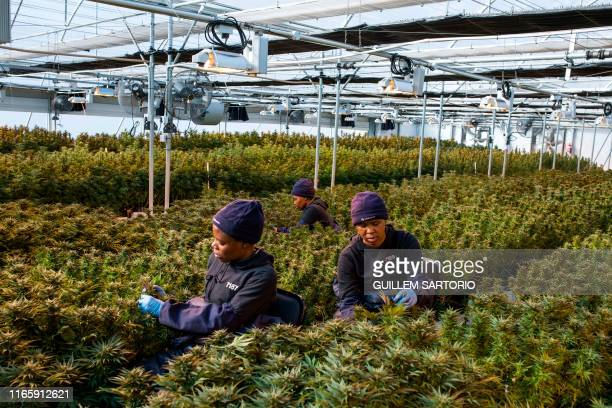 TOPSHOT Women workers pick up leaves from cannabis plants inside a greenhouse of Medigrow a LesothoCanadian company that grows legal cannabis located...