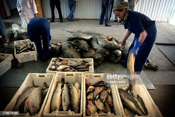 CONTENT] Women workers sort out fish at a fish processing plant in Aralsk Kazakhstan the 8th of September 2007 The building of a dyke on dried out...