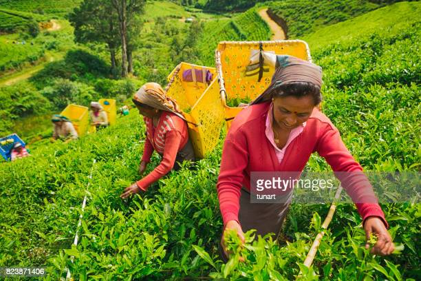women working in a tea field - bringing home the bacon stock photos and pictures