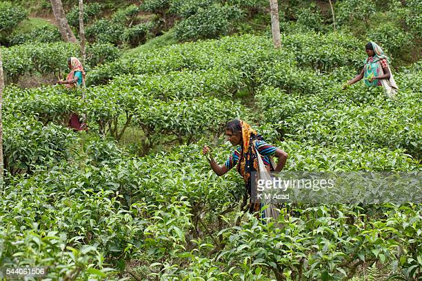 SRIMONGOL SYLHET DHAKA BANGLADESH Women working in a tea garden Tea Plucking is a specialized skill Two leaves and a bud need to be plucked in order...