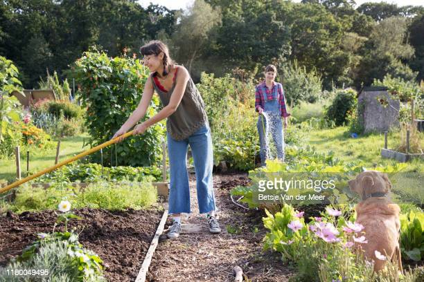 women working in allotment while pet dog is looking on. - gardening stock pictures, royalty-free photos & images
