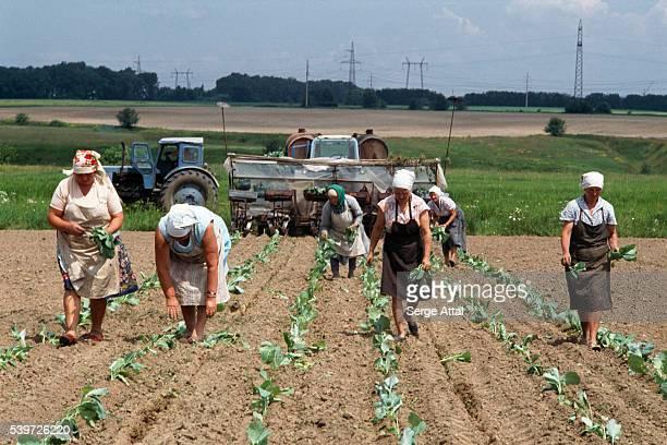 Women working in cabbage field near Kiev