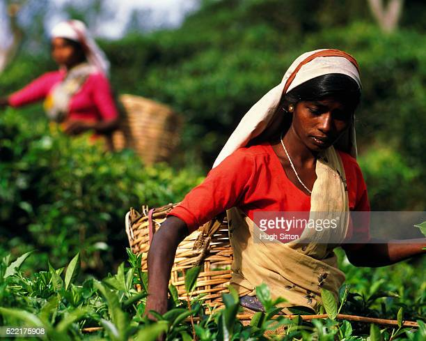women working in the fields - hugh sitton stockfoto's en -beelden