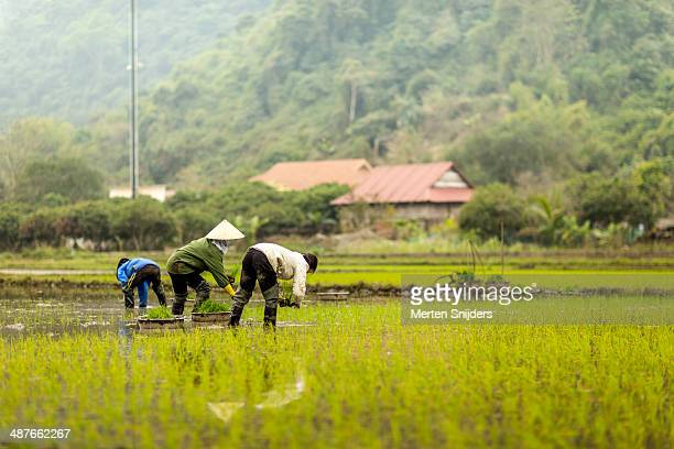 women working on rice paddy - merten snijders photos et images de collection
