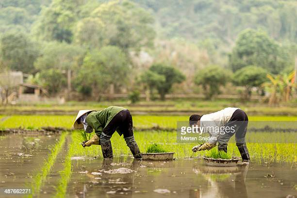 women working on rice paddy - merten snijders stock pictures, royalty-free photos & images