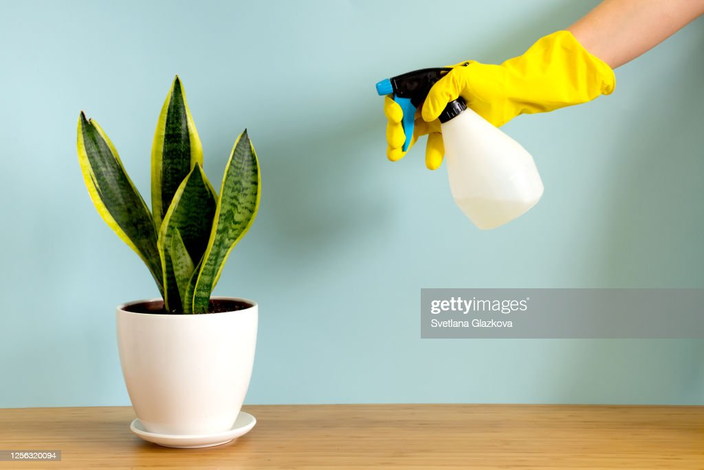 Women's hands in gardening gloves spray plants. Trending flower snake plant Sansevieria trifasciata on blue background. Summer indoor plants and urban jungle concept : Stock Photo