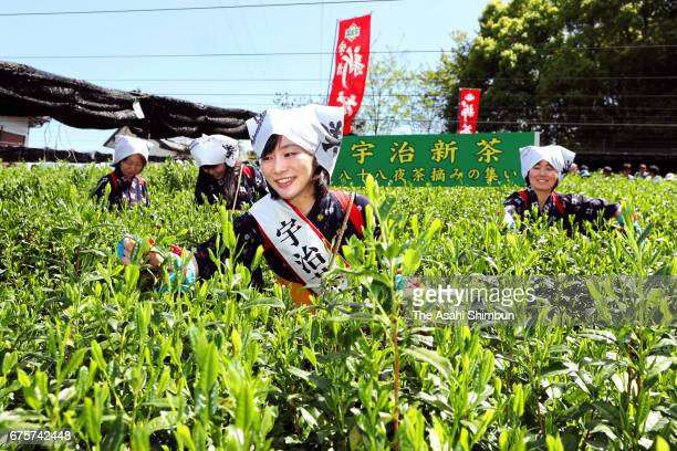 Women's in traditional 'Chamusume' tea picking girls costumes harvest the tender leaves at a tea field on May 2 2017 in Uji Kyoto Japan Tea picking...