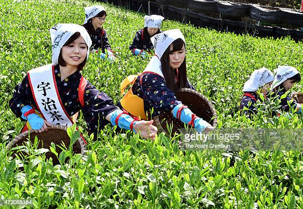 Women's in traditional 'Chamusume' tea picking girls harvest the tender leaves at a tea field on May 2 2015 in Uji Kyoto Japan Tea picking season...