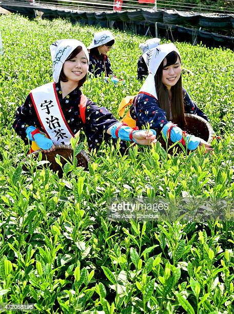 Women's in traditional 'Chamusume', tea picking girls, harvest the tender leaves at a tea field on May 2, 2015 in Uji, Kyoto, Japan. Tea picking...