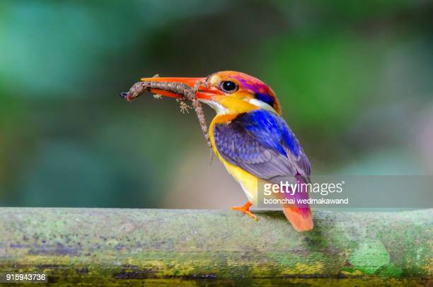 Wonderful colour of small kingfisher birds is black-backed kingfisher