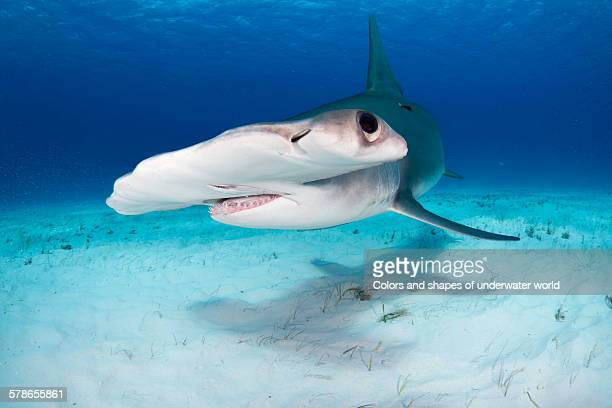wonderful creature - south bimini stock photos and pictures