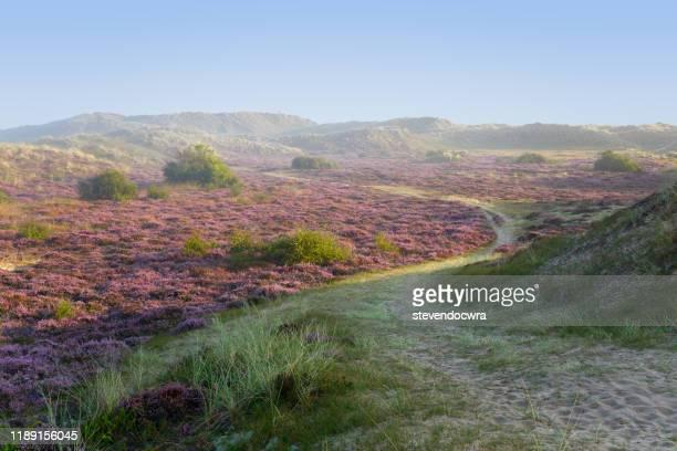wonderful heather colours at winterton on sea in norfolk - norfolk east anglia foto e immagini stock