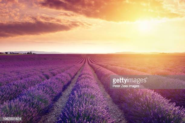 wonderful lavender field at sunset - lavender color foto e immagini stock