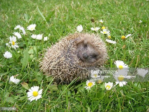 Wonderful 'Siesta' of a Little Hedgehog  / La
