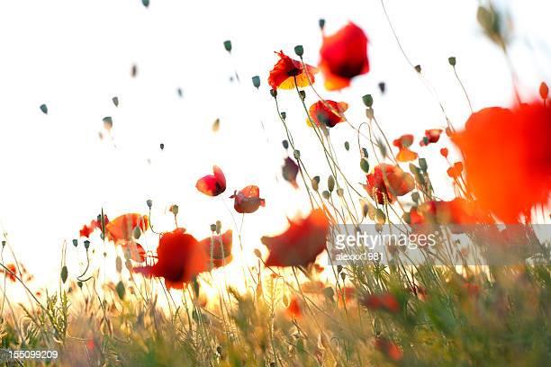 Wonderful weightless red corn poppies in meadow against sky