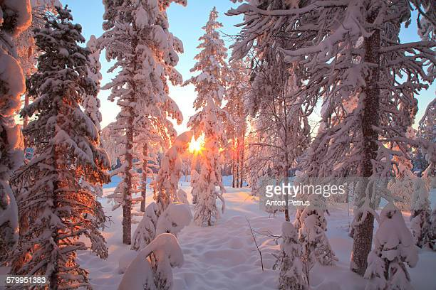 Wonderful winter morning in the snowy forest