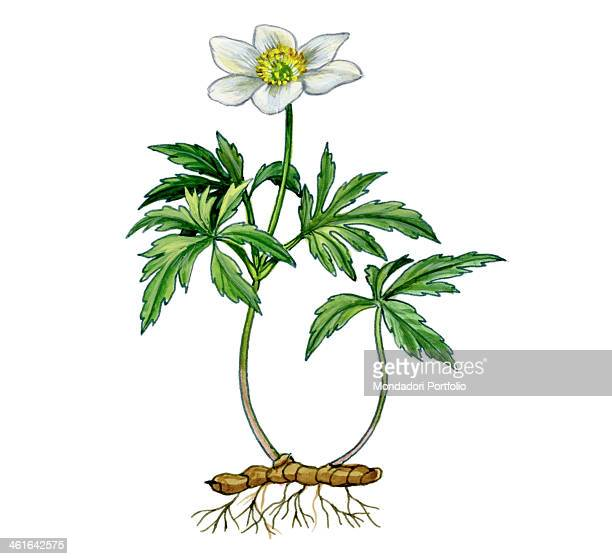 Wood Anemone by Giglioli E 20th Century ink and watercolour on paper Whole artwork view Drawing of leaves and flowers of the plant