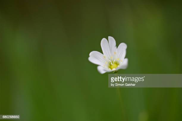 Wood Anemone Flower Close Up Still Life