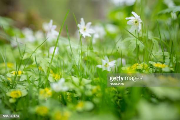 wood anemone - spring in the forest - softfocus stockfoto's en -beelden
