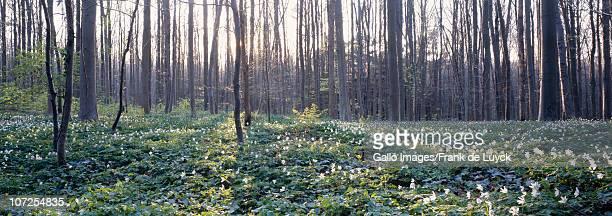 Wood anemones (Anemone nemorosa) against a backdrop of sunrays filtering through the forest, Hallerwoods, Halle, Flemish Brabant, Belgium.