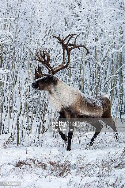 Wood Caribou in winter snow