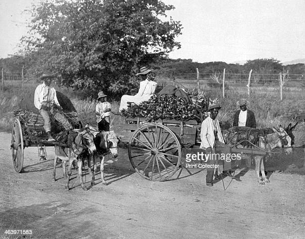 Wood carts Jamaica c1905 Illustration from Picturesque Jamaica by Adolphe Duperly Son