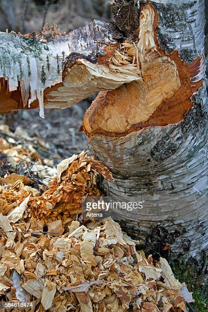 Wood chips around birch tree showing damage from gnawing by Eurasian beaver