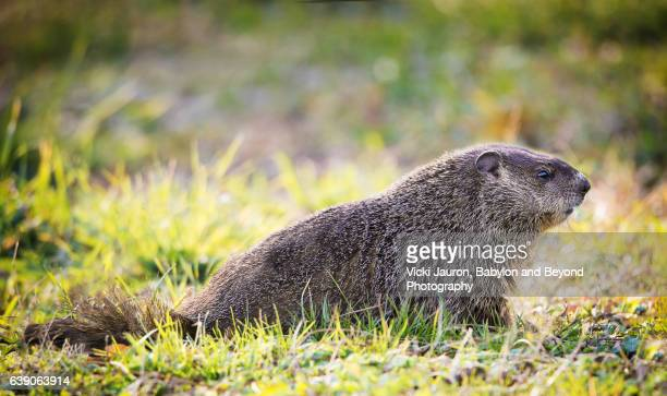 wood chuck profile at caumsett state park - huntington suffolk county new york state stock pictures, royalty-free photos & images