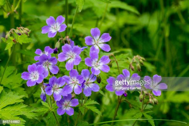 Wood cranesbill flowering inside a small forest at Hofdi at Lake Myvatn in Northeast Iceland.
