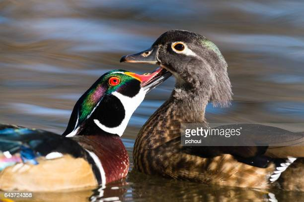 Wood duck, Aix Sponsa, male and female bird in fall, kissing