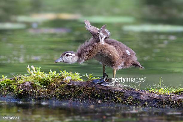 Wood duck chick take-off