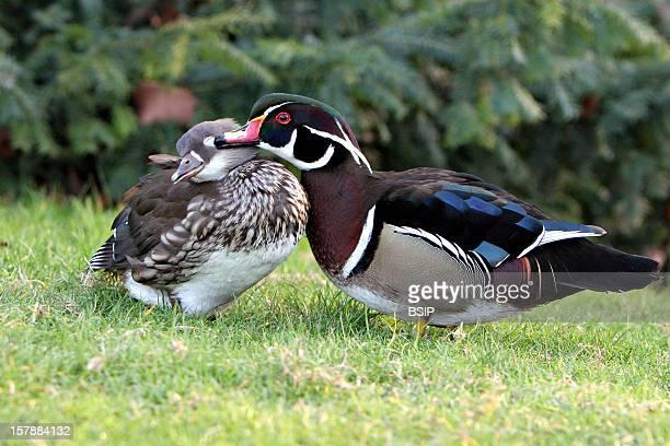 Wood Duck Couple Of Wood Ducks Picardy FranceThe Wood Duck Is Also Called Carolina Wood DuckAix Sponsa Wood Duck Duck Anatid Palmiped Bird