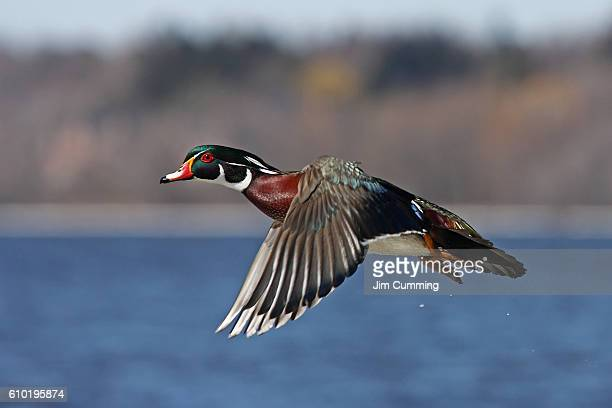 Wood Duck Stock Photos and Pictures | Getty Images Wood Ducks Flying