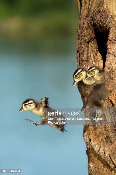 wood duck jumping from natural nest cavity - duck bird stock photos and pictures