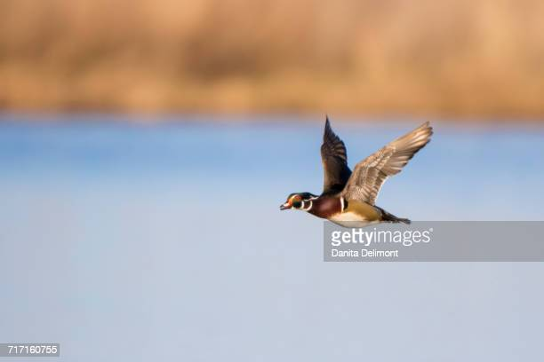 wood duck (aix sponsa) male flying over wetland, marion county, illinois, usa - sponsa stock photos and pictures