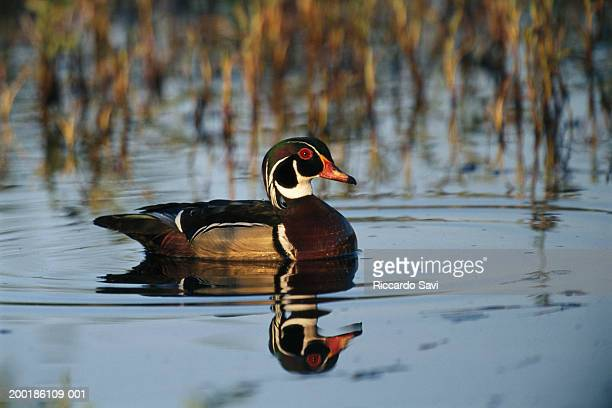 wood duck (aix sponsa) male on water, side view - sponsa stock photos and pictures