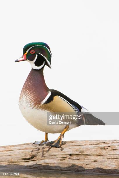wood duck (aix sponsa) male perching on log, marion county, illinois, usa - sponsa stock photos and pictures