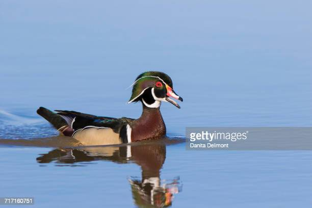 wood duck (aix sponsa) male swimming in wetland, marion county, illinois, usa - sponsa stock photos and pictures