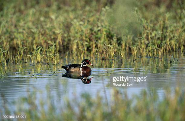 wood duck (aix sponsa) male swimming, side view - sponsa stock photos and pictures