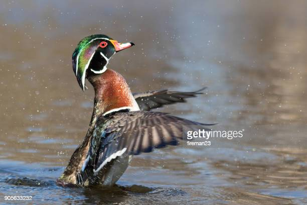 Wood duck on a lake rearing up, Montreal, Quebec, Canada