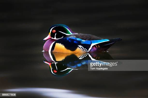 wood duck - duck bird stock pictures, royalty-free photos & images