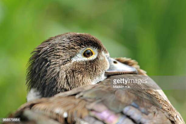 wood duck (aix sponsa) - sponsa stock photos and pictures