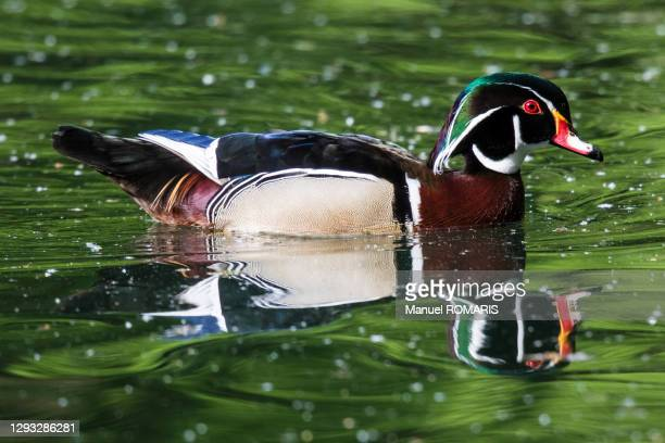 wood duck, sonian forest, brussels - capital region stock pictures, royalty-free photos & images
